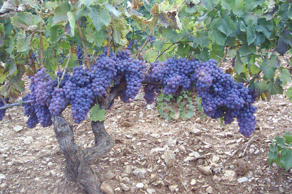 Cannonau – der einst wilde und raue Rotwein hat sich seinen Platz unter den internationalen Spitzenweinen erobert